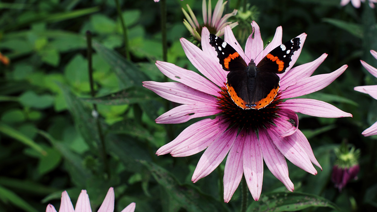 Jeremy Houchens, Photography, Butterfly on a Coneflower