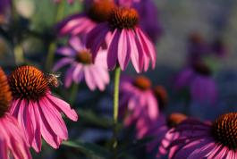 Jeremy Houchens, Photography, Bee on a Coneflower