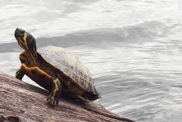 Photography, Jeremy Houchens, Mr. Surf Turtle