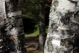Jeremy Houchens, Photography, Birch Trees